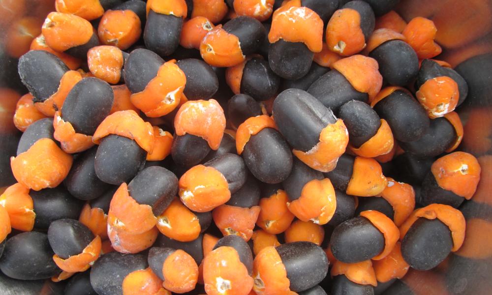 Afzelia africana seeds (Zogbodomey district, Benin)