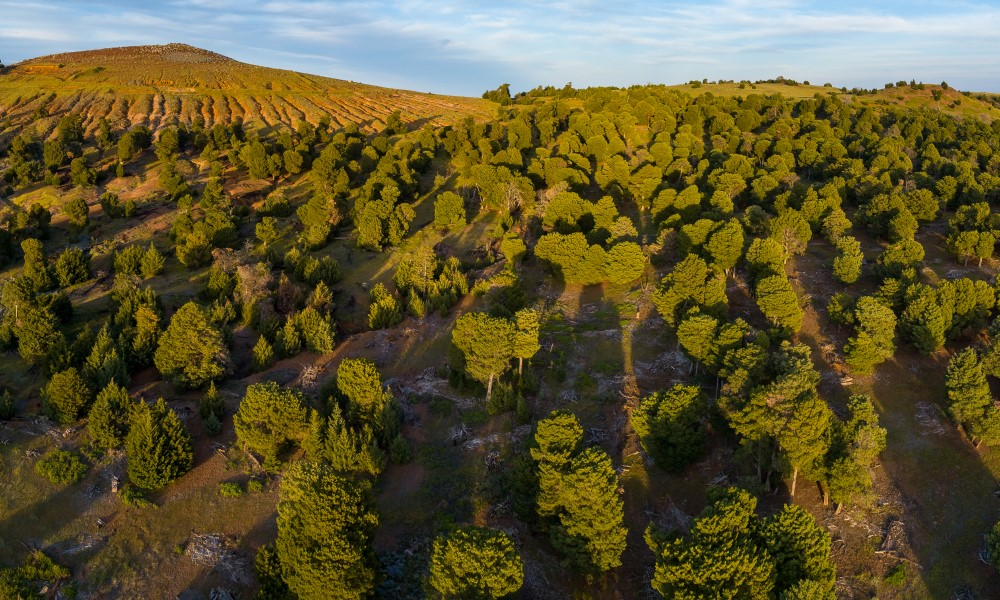 Guadalupe Island cypress forest